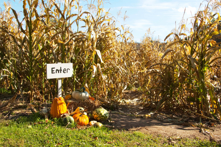 Get lost in the corn maze at Killarney Pumpkin Farm